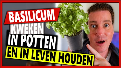 Basilicum kweken in potten