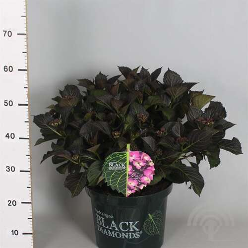 Boerenhortensia - Hydrangea macr. Black Diamonds 'Dark Angel ® Purple'