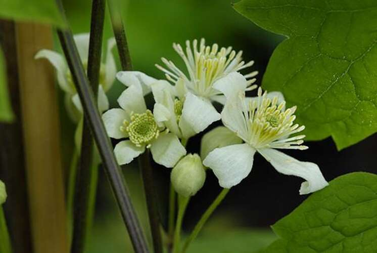 Bosrank - Clematis trichotoma