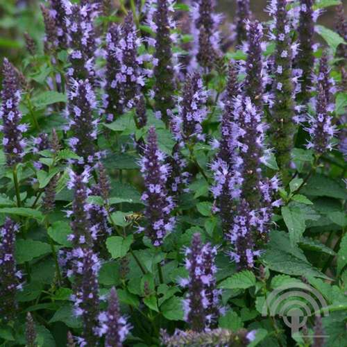 Dropplant of anijsplant  - Agastache 'Black Adder'