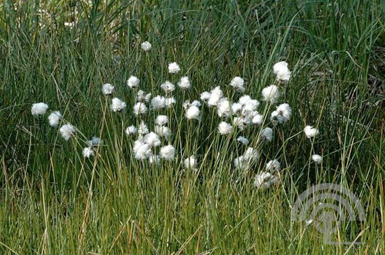 Eenarig wollegras - Eriophorum vaginatum