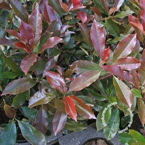 Glansmispel - Photinia fraseri 'Little Red Robin'