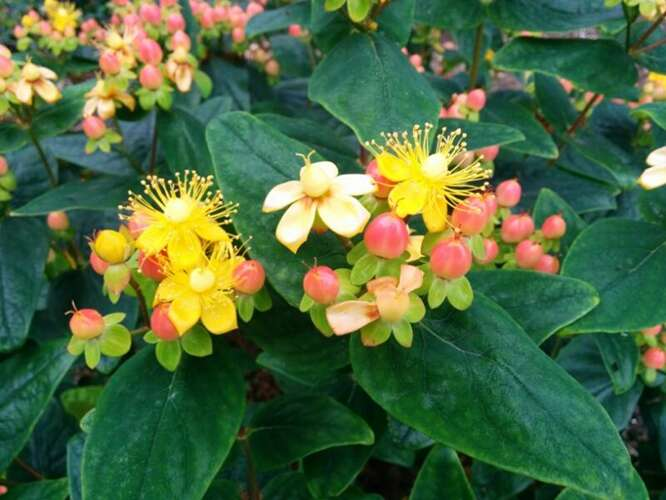 Hypericum in. 'Magical Beauty' Geen nederlandse naam