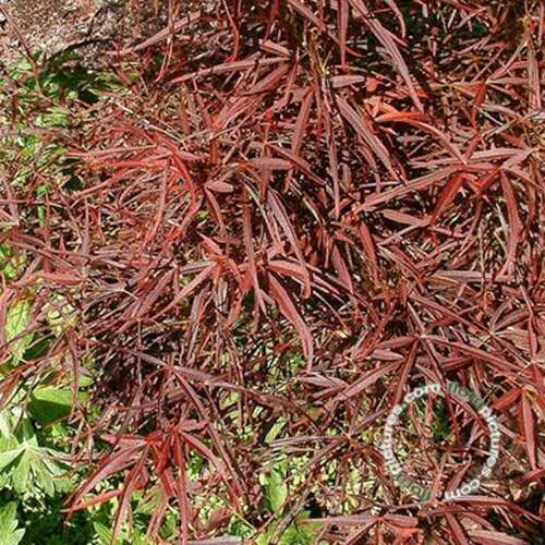 Japanse esdoorn - Acer pal. 'Red Pygmy'