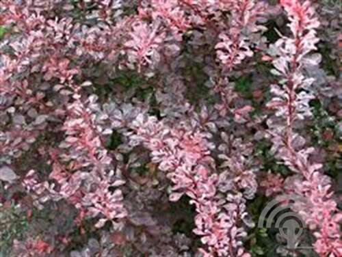 Japanse Zuurbes - Berberis thunb. 'Rose Glow'