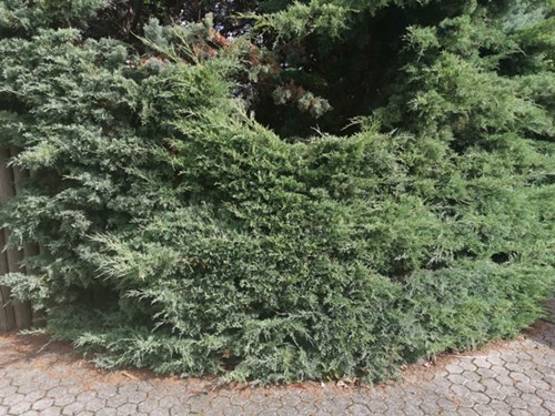 Juniperus  / Jeneverbes