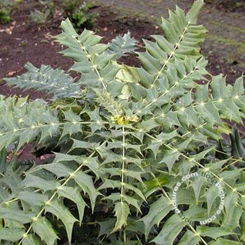 Mahonia - Mahonia media 'Winter Sun'