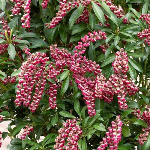 Rotsheide - Pieris jap. 'Passion'
