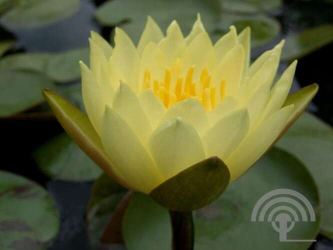 Waterlelie - Nymphaea 'Joey Tomocik'