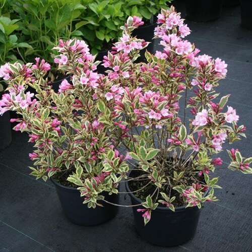 Weigelia - Weigela florida 'Magical Rainbow' ®